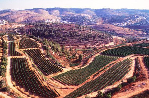 Domaine du Castel vineyards in the Judean Hills Israel
