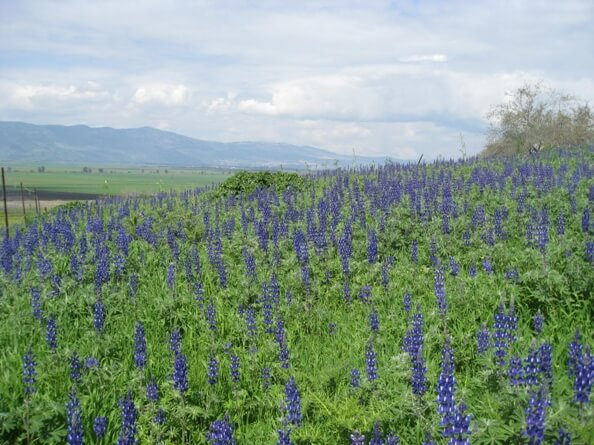 fields of Blue Lupine wildflowers blooming in the Galilee during the late winter early spring