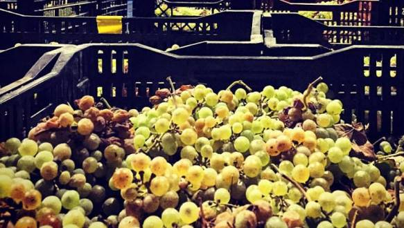 grave harvest at Vitkin Winery in the Sharon Plain region