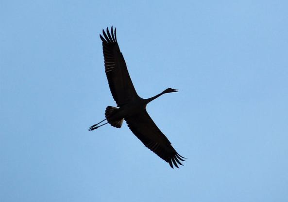 Crane in Hula Valley in the North of Israel
