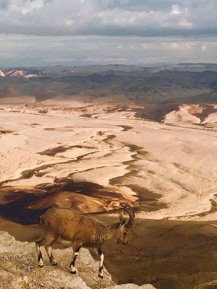 Ibex at Makhtesh Ramon Crater in Hanegev Israel Desert