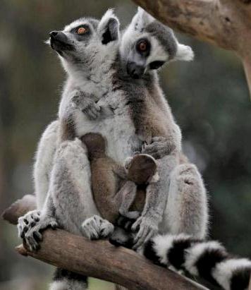 israel zoo and safari two lemurs and babies