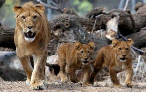 israel zoo and safari lions