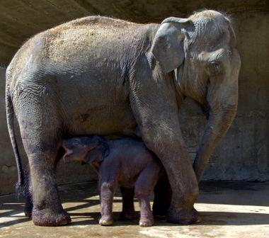 israel zoo and safari elephant mother and baby