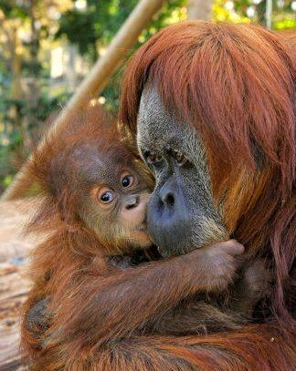 israel zoo and safari rahamim baby orangutan with mother