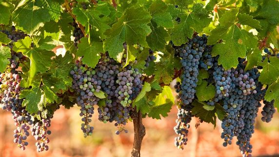 grapes on the vineyard in Israel