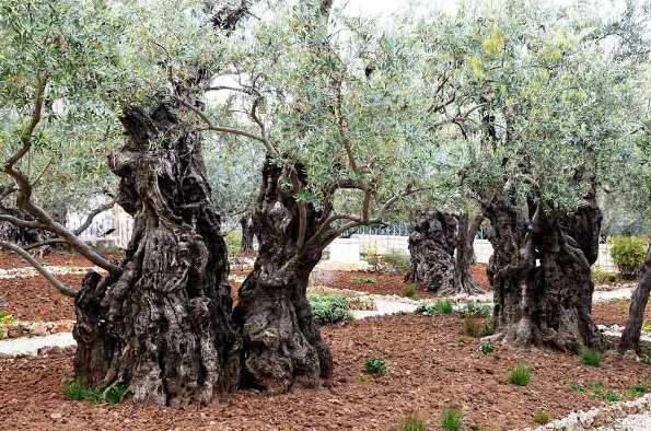 Garden of Gethsemane Christian site in Jerusalem where Jesus prayed with his disciples on the night before his betrayal