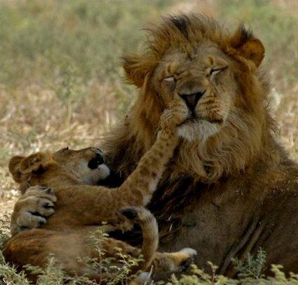 israel zoo and safari lion and cub